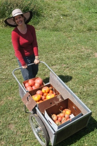 a harvest of organic heirlooms